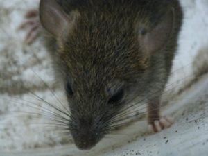 Mice control Toronto