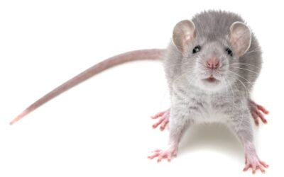 The Best Ways to Get Rid of Mice