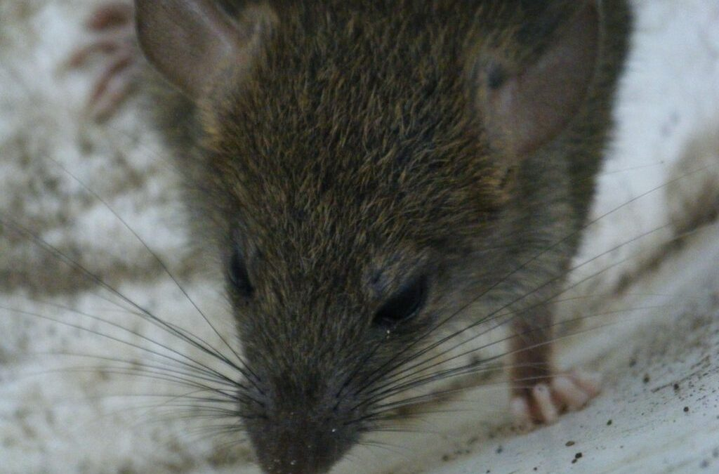 Are you Aware of The Deadly Diseases that Rats Carry?