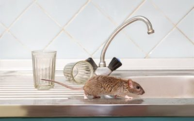 Mice in the Kitchen? Find Out Why This May Be a Common Place to Find Them
