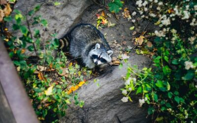 Importance of Disinfection after Raccoon Feces Removal
