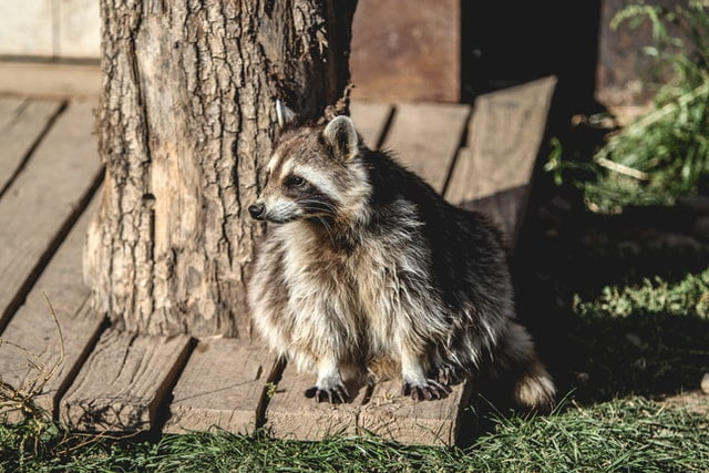 Can Raccoons Transmit Any Diseases Or Viruses To Humans?