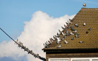 Toronto Pest Control Tips for Making Your Yard Unattractive to Pigeons