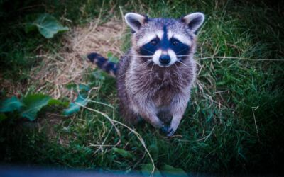 How To Prevent Raccoons From Messing Up Your Property